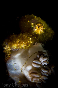 Tiny Shaggy Octopus: Lembeh Straits by Tony Cherbas 